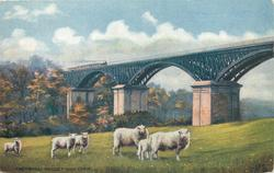CHETWYND VIADUCT NEAR CORK  sheep