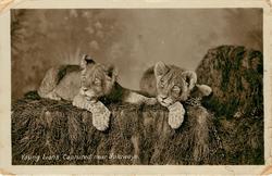 YOUNG LIONS CAPTURED NEAR BULUWAYO