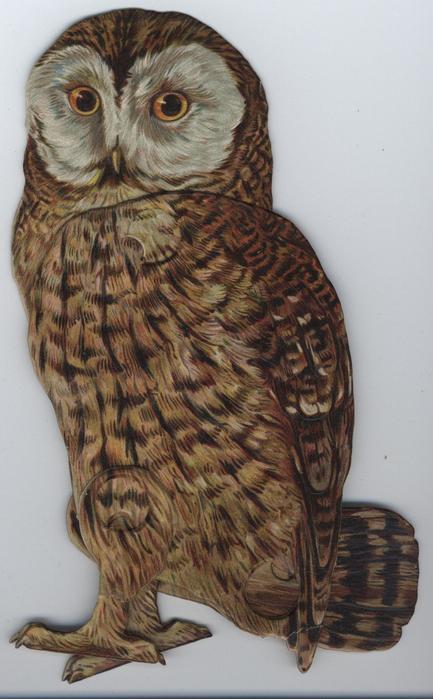THE TAWNY-OWL (SYRNIUM ALUCO)