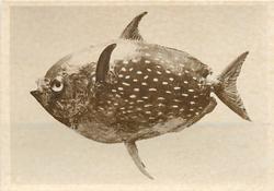 OPAH OR KING FISH