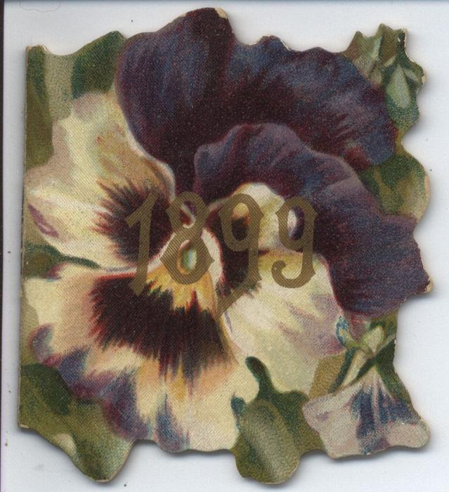 1899 purple and white pansy