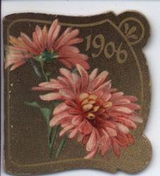 1906 pink chyrsanthemums