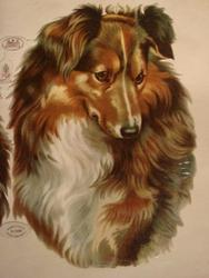 dog heads, collies