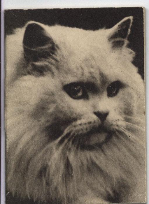 head of white cat