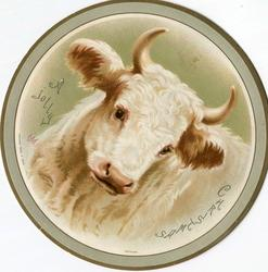 white cow with horns