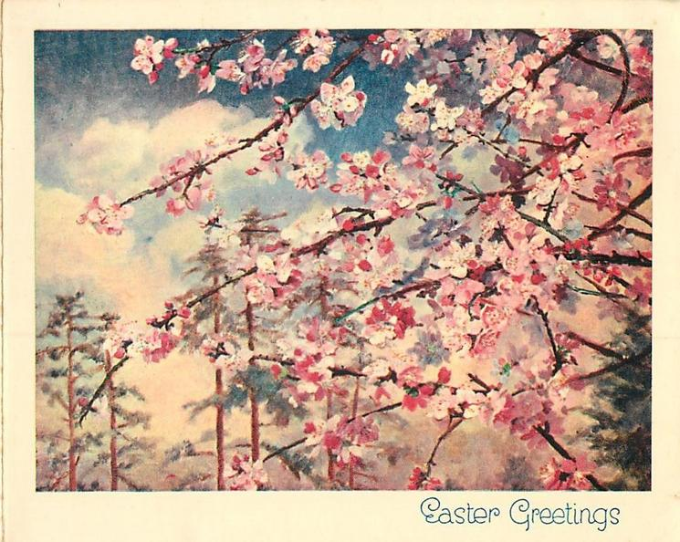EASTER GREETINGS close view, branches of cherry tree in bloom