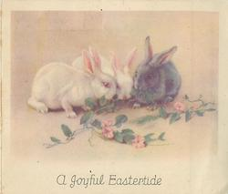 A JOYFUL EASTERTIDE two white rabbits and one grey rabbit munch on morning glory