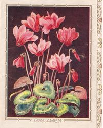CYCLAMEN pink cyclamen, black background, decorative panel with hearts right