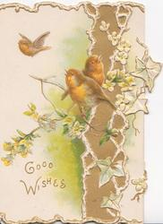 GOOD WISHES in gilt lower left, two robins perch on acacia, another flies, gilt & white design & ivy right