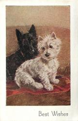 BEST WISHES two terriers, one black & one white, sit on red blanket on sofa