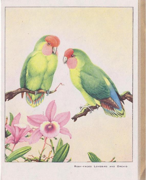 ROSY-FACED LOVEBIRD AND ORCHID