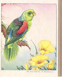 RED WING PARAKEET AND ESCHSCHOLTZIA
