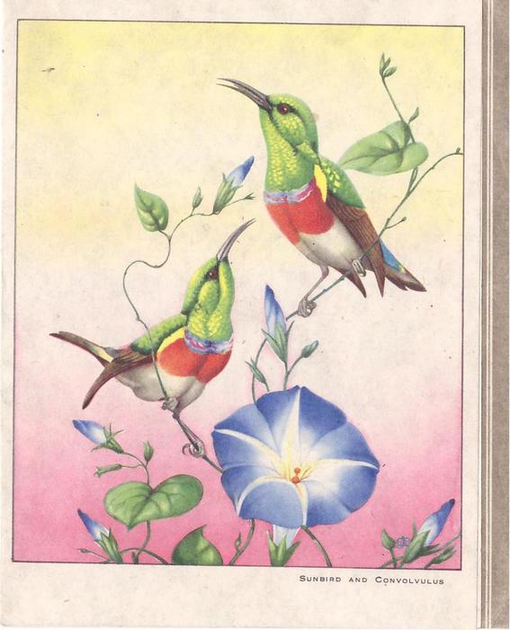 SUNBIRD AND CONVOLVULUS