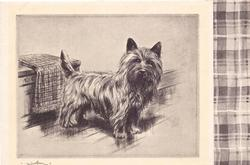no front title, cairn terrier faces right & looks forward, chest with folded blanket, checkered panel right