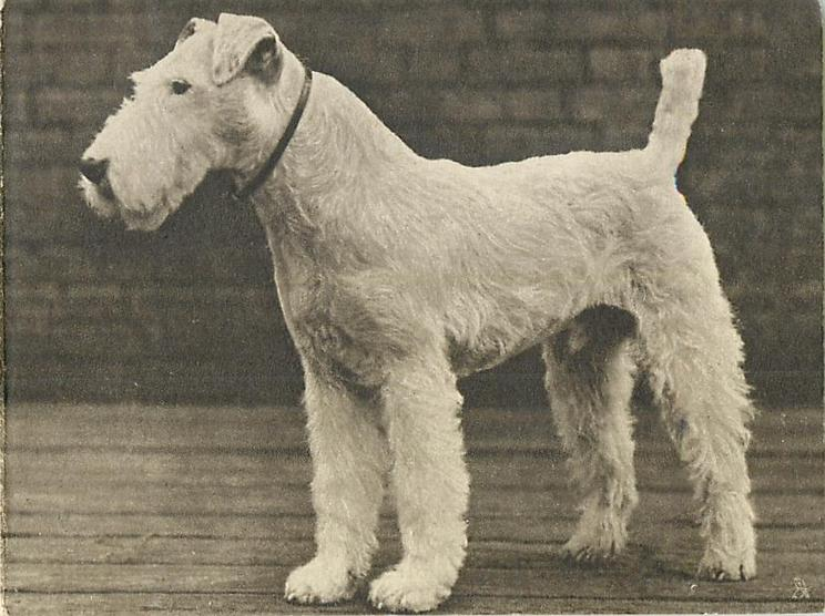 no front title, white fox terrier, faces & looks left, brick wall background, photographic