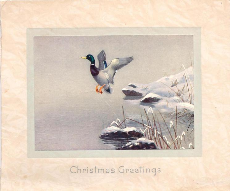 CHRISTMAS GREETINGS single mallard lifts off from snowy rock over water, snowy bank with grass, right