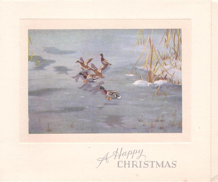 A HAPPY CHRISTMAS 5 mallards over & on water, tall grass in snow right