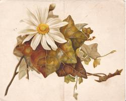no front title, ivy & white daisy with yellow centre, ivy around swallows over water on back