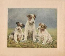 no front title, three terriers sit in grassy field