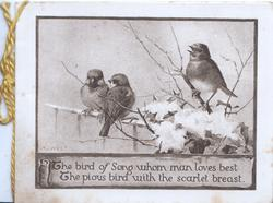 THE BIRD OF SONG...3 English robins perched on snowy holly & fence