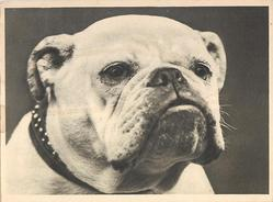 no front title, head of bulldog looking front, photographic
