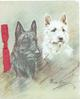 no front title, head & shoulders study white & black scotch terriers looking front right