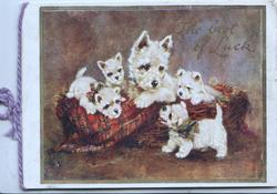 THE BEST OF LUCK ( very faint) white scotch terrier & 4 puppies in & around basket, tartan rug