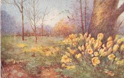 no front title, orange croci at base of large tree, right