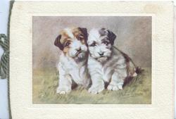 no front title,two terrier puppies seated close together looking front