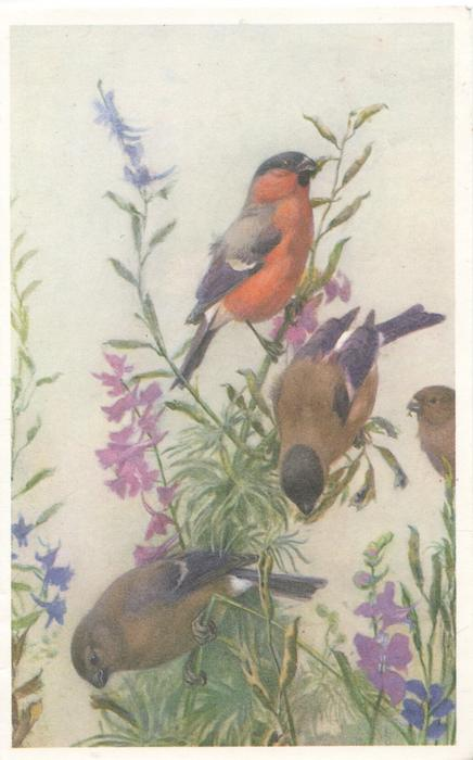 no front title, male chaffinch above 2 females eating seeds of purple flower