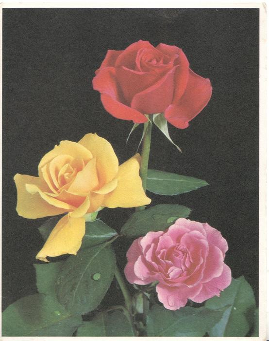 no front title,single red, yellow & pink roses against black background