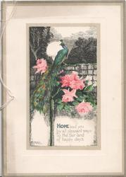 HOPE LEAD YOU....peacock on wall above pink roses, evening scene