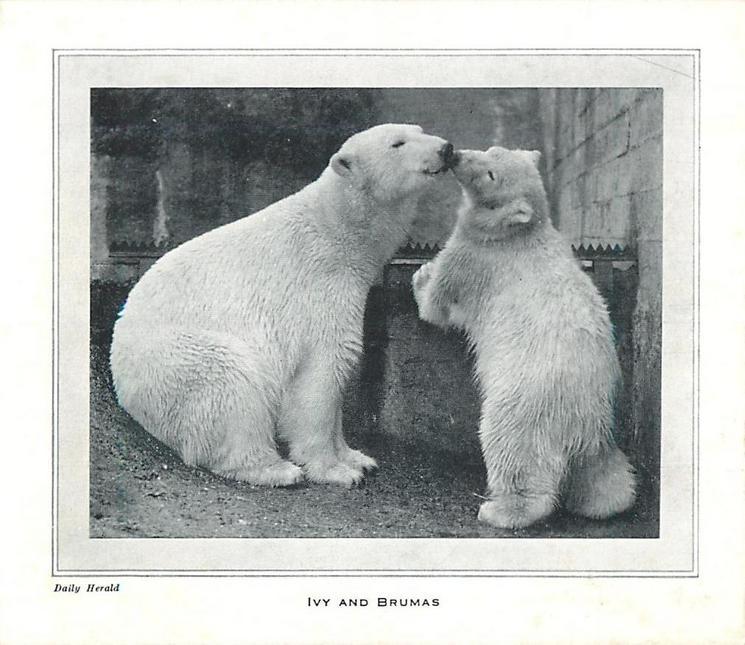 IVY AND BRUMAS -- mother polar bear with cub (London Zoo 1949)