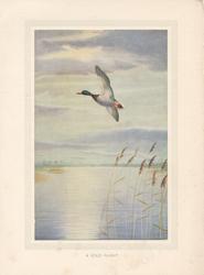 A SOLO FLIGHT Mallard duck flies left over water, reeds below right