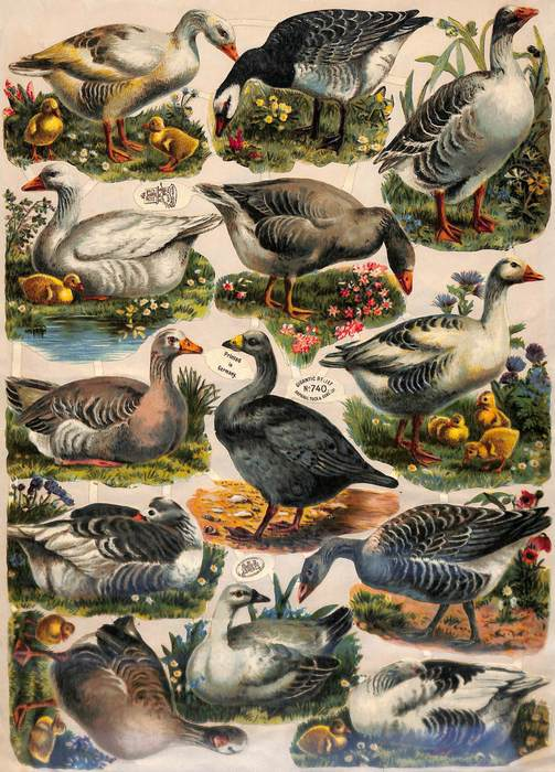 geese or ducks