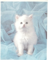 no front title, white kitten sits facing & lookign forward, gauzy blue fabric surround