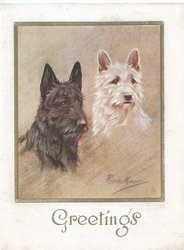 GREETINGS head & shoulders study white & black scotch terriers looking front right,