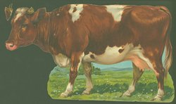 THE COW OF THE COMMON OX