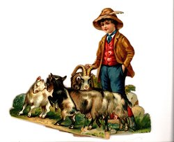 young boy herds goats