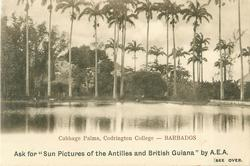 CABBAGE PALMS, CODRINGTON COLLEGE