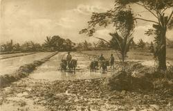 PLOUGHING FOR RICE PLANTING
