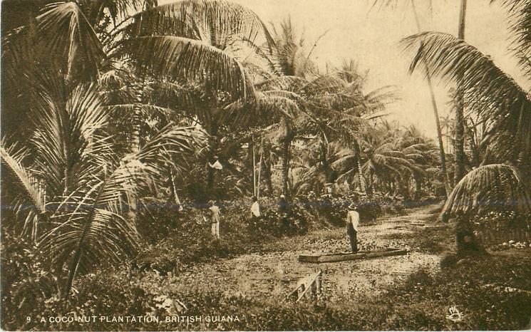 A COCO-NUT PLANTATION
