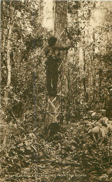 BLEEDING A BALATA TREE IN BRITISH GUIANA  rubber