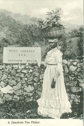 A JAMAICAN TEA PICKER