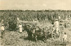 CARTING SUGAR CANES AT HARTLANDS, ST. CATHERINES