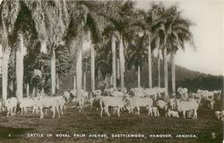 CATTLE IN ROYAL PALM AVENUE, SHETTLEWORTH, HANOVER