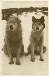 TWO HUSKIES. MEMBERS OF THE GRENFELL MISSION TEAM