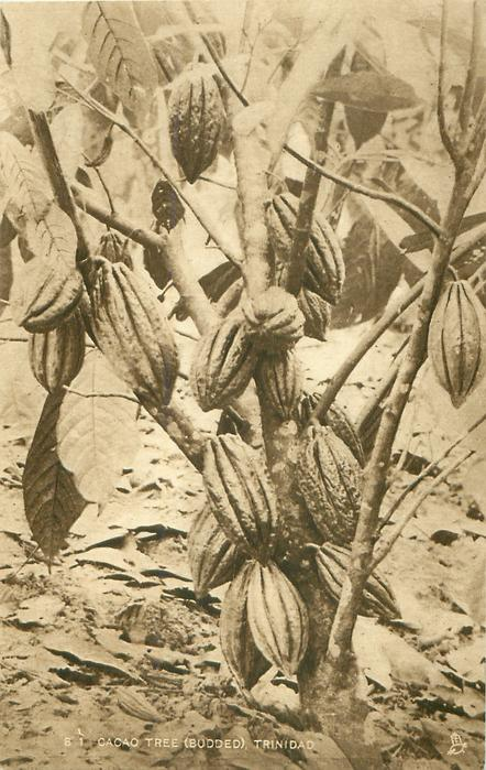 CACAO TREE, BUDDED, TRINIDAD