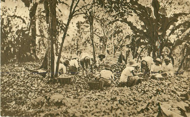 EXTRACTING CACAO BEANS, TRINIDAD