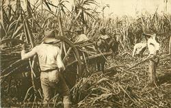 REAPING SUGAR CANE, TRINIDAD